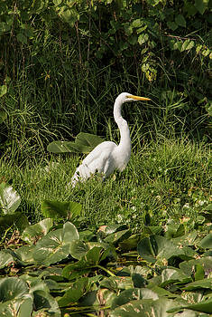 Great Egret In The Marsh by William Tasker