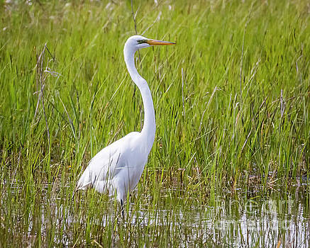 Great Egret in the Spring  by Ricky L Jones