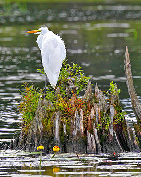 Great Egret by John Stoj