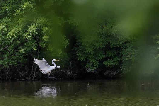 Great Egret landing approach by Dan Ferrin