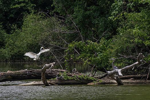 Great Egret landing by Dan Ferrin