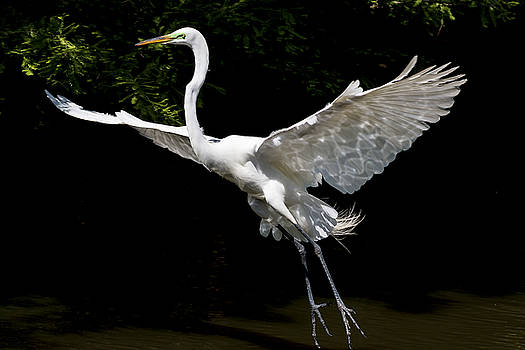 Great Egret Landing by Jim Miller
