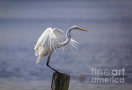 Great Egret Landing by Joan McCool