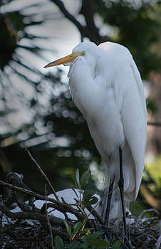 Great Egret by Linda Geiger