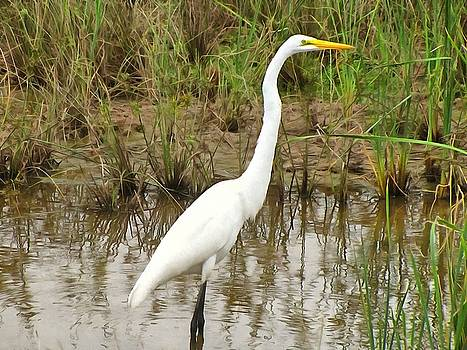 Great Egret by Maciek Froncisz