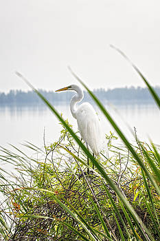 Great Egret  by Michael White