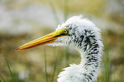 Great Egret by Nate Heldman