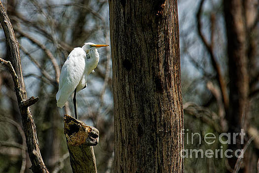 Great Egret by Paul Mashburn