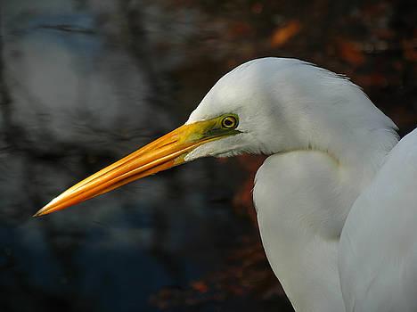 Juergen Roth - Great Egret Portrait