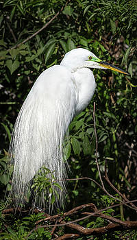 Great Egret Portrait One by Steven Sparks