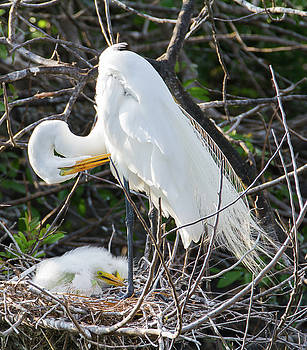 Great Egret preening with chicks by Kelly Kennon