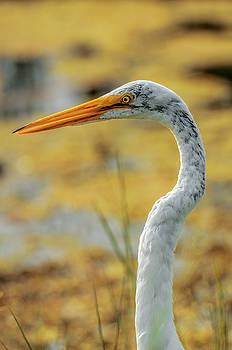 Great Egret Profile by Nate Heldman