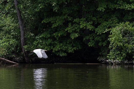 Great Egret reflected by Dan Ferrin