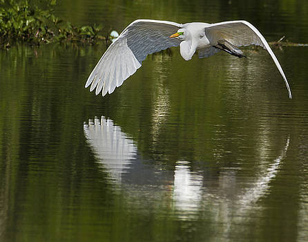 Great Egret Reflections by Jim Miller