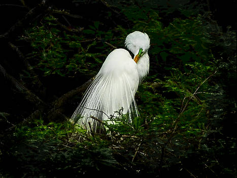 Great Egret resting by Terry Shoemaker
