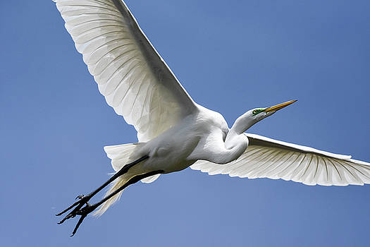 Great Egret Soaring by Gary Wightman