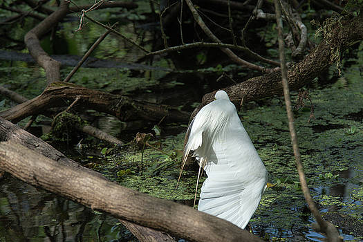 Great Egret Stretching a Wing by Frank Madia