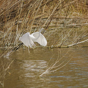 Great egret taking flight by Billy Stovall