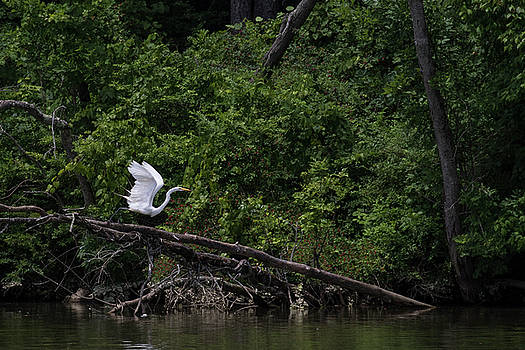 Great Egret taking off by Dan Ferrin