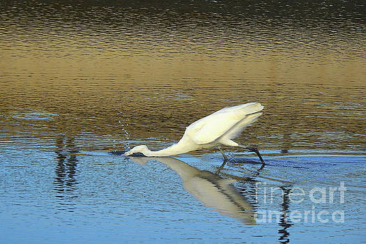 Great Egret - The Strike by Scott Cameron