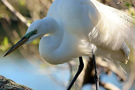 Patricia Twardzik - Great Egret Up Close and Personal
