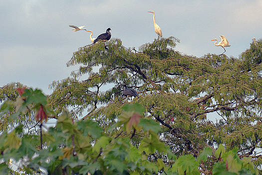 Harvey Barrison - Great Egret viewing the skiffs on the Pahuachiro Cano