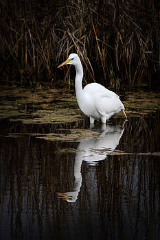 Great Egret Wading  by Nathaniel Kidd