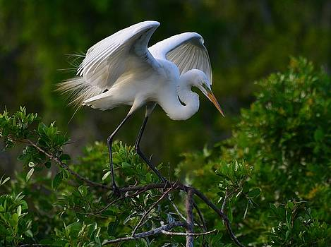 Patricia Twardzik - Great Egret With Dainty Feathers