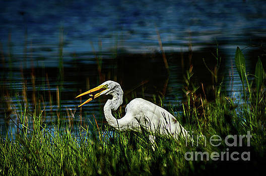Great Egret With Fish by Thomas Gibson