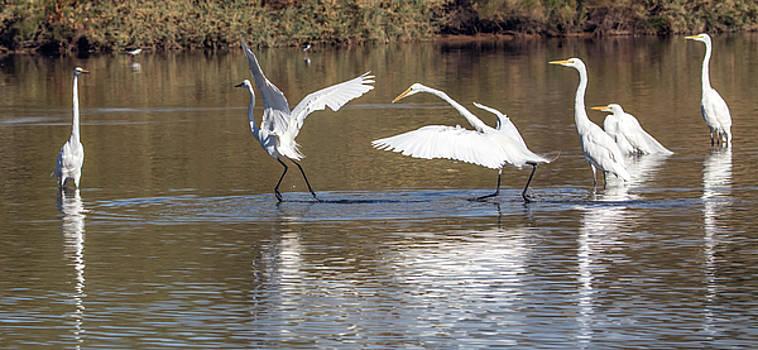 Great Egrets 1065-010518-2cr by Tam Ryan