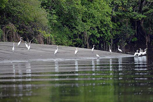 Harvey Barrison - Great Egrets along the Cuenca del Yanayacu-Pucate