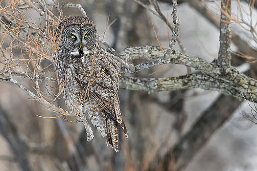 Great Gray Owl 2 by Christopher Ciccone