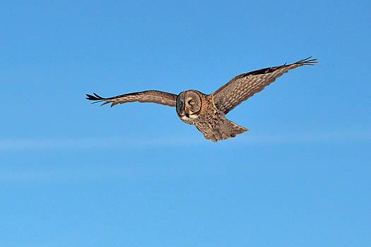 Great Gray Owl by Asbed Iskedjian