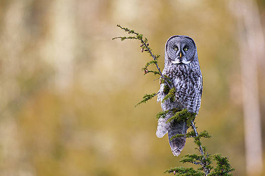 Great Gray Owl by Brandon Broderick