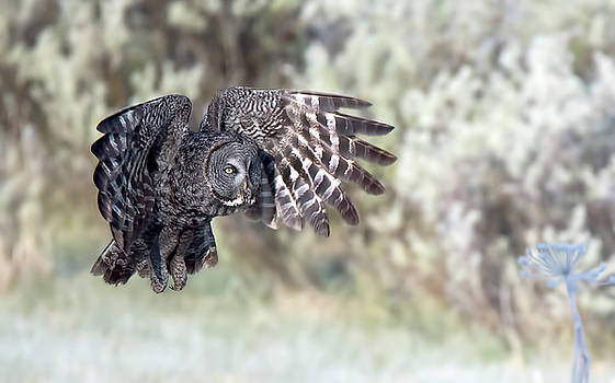 Great Gray Owl by Donna Caplinger