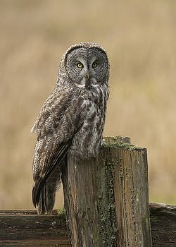 Great Gray Owl by Doug Herr