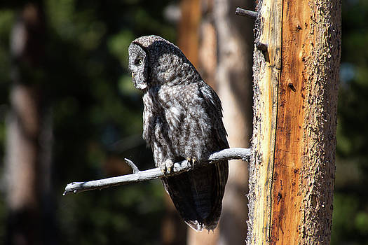 Great Gray Owl by Frank Madia