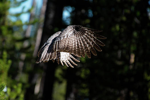 Great Gray Owl Lucky Shot 1 by Frank Madia