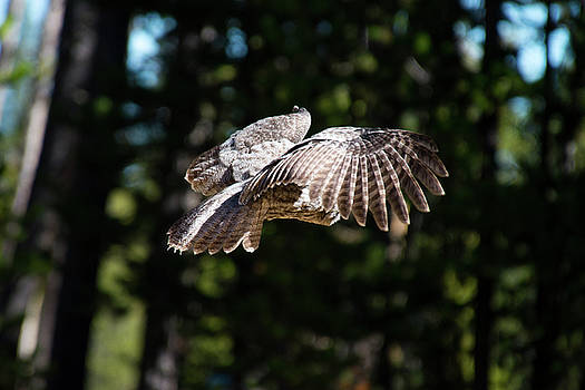 Great Gray Owl Lucky Shot 2 by Frank Madia