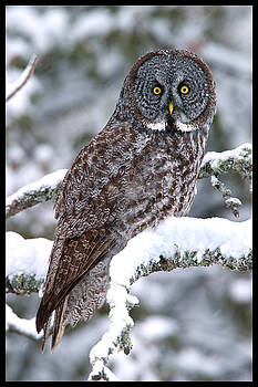 Great Gray Owl by Pete Parker