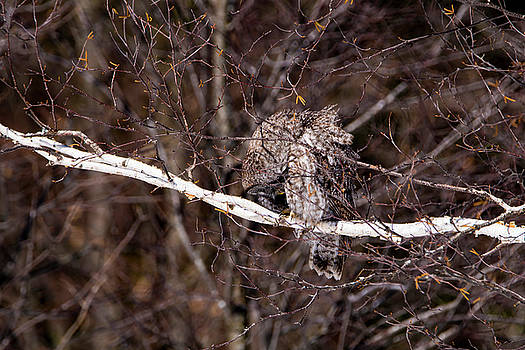 Great Grey Owl 1 by Tracy Winter