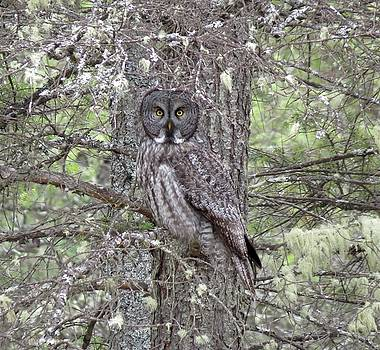 BC SPCA WOW  photo Great Grey Owl by Bonnie-Lou Ferris