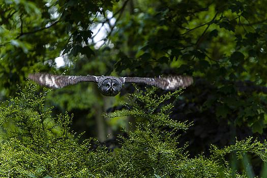 Great Grey Owl in Flight by Andy Myatt