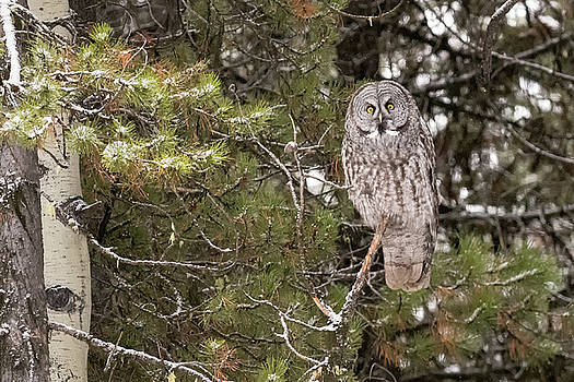 Tibor Vari - Great Grey Owl in Grand Teton National Park