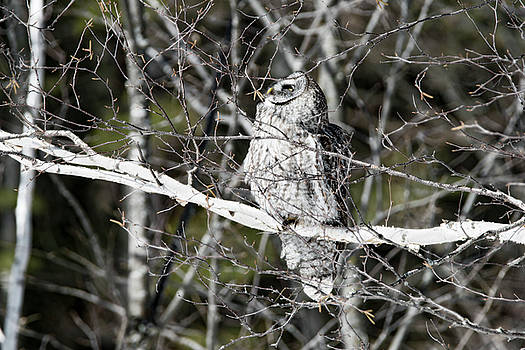 Great Grey Owl Looking Up by Tracy Winter