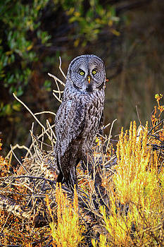 Great Grey Owl Portrait by Greg Norrell