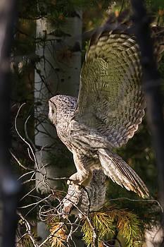 Great Grey Owl Stretch by Sandy Brooks