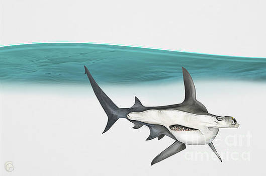 Great Hammerhead Sphyrna mokarran - Squat-headed Hammerhead Shark - Grand Requin-marteau - Cornuda by Urft Valley Art