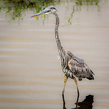 Great Heron Fishing by Robert Mitchell