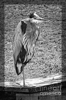 Great Heron monochrome by Ella Kaye Dickey
